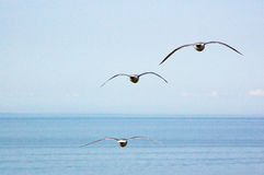 Flying Seagulls over the sea stock photo