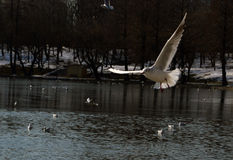 Flying seagulls Royalty Free Stock Photo