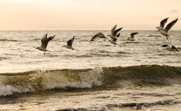 Flying seagulls on the sea Royalty Free Stock Photos