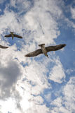 Flying seagulls in the sky summer in the Crimea. Royalty Free Stock Images