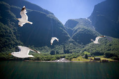 Flying seagulls at Sognefjord Stock Photo