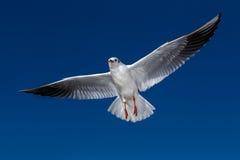 Flying seagulls in sunlight Stock Photo