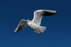 Flying seagulls in sunlight Stock Images