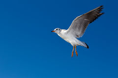 Flying seagulls in sunlight Royalty Free Stock Images
