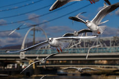 Flying seagulls in sunlight Royalty Free Stock Image