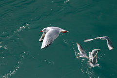 Flying seagulls in sunlight Royalty Free Stock Photo