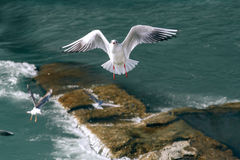 Flying seagulls in sunlight Royalty Free Stock Photos
