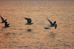 Flying Seagulls on Sunset Fly Away over sea surface Stock Photo