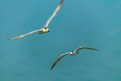 Flying seaguls. Stock Photography