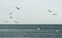 Flying seagulsl. Royalty Free Stock Photography