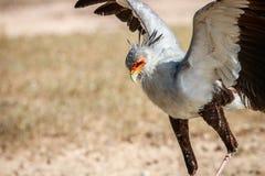Flying Secretary bird. Stock Image