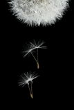 Flying seeds of blossoming dandelion. Isolated on black Royalty Free Stock Images