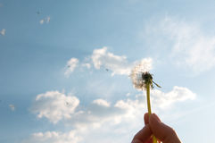 Flying seeds. Flying dandelion seeds next to blue skies royalty free stock images