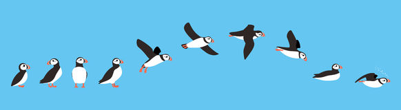 Flying sequence of puffin, multiple exposure, vector illustratio Royalty Free Stock Images
