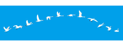 Flying sequence of swan, multiple exposure, vector illustration Stock Photo
