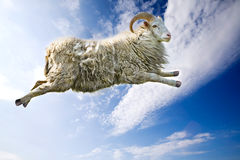 Flying Sheep. A flying sheep through a beautiful blue sky Stock Photo