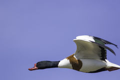 Flying Shelduck with natural copy sapce. Common shelduck (Tadorna tadorna) in flight with natural copy space Royalty Free Stock Images