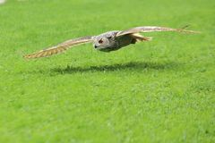 Flying siberian eagle owl Stock Photography