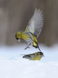 Flying Siskin above snowdrift. Flying Siskin (Carduelis spinus) above snowdrift. Moscow region, Russia Royalty Free Stock Image