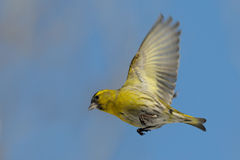 Flying Siskin against blue autumn sky background Stock Images