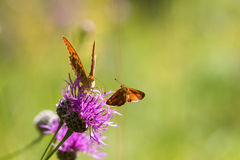 Flying skipper and a fritillary on a thistle Royalty Free Stock Images
