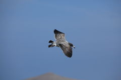 A flying Skua Royalty Free Stock Photography