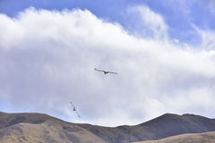 Flying in the sky of the cinereous vulture is looking for food. Royalty Free Stock Image