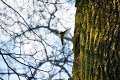Flying small bird does a nest in an old tree Stock Images