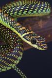 Flying snake / Chrysopelea paradisi. The flying snake, also known as the Paradise tree snake (Chrysopelea paradisi)is a spectacular arboreal snake that is able Royalty Free Stock Photo