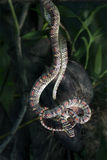 Flying snake hanging Stock Photography