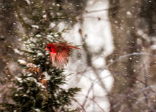 Flying In Snow cardinal Photo libre de droits