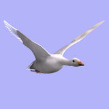 Flying snow goose Stock Photo