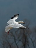 Flying Snow Goose. A single migrating Snow Goose in flight royalty free stock photo