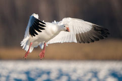 Flying Snow Goose (Chen caerulescens) Stock Photos