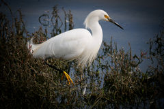 A Flying Snowy Egret. A Snowy Egret flying over the water surface Royalty Free Stock Image