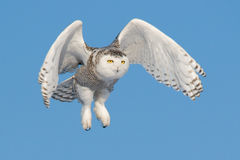 Flying Snowy Owl (Bubo scandiacus) Stock Photo