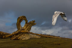 Flying Snowy Owl Stock Images