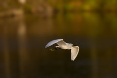 Flying snowy white egret in afternoon light Royalty Free Stock Photo