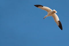 Flying solo. A single snow goose flying in a clear blue sky Stock Photo