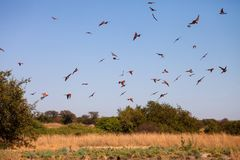 Flying Southern Carmine Bee-eater,Zambezi, Namibia Stock Photography