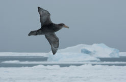 Flying southern giant petrel. Southern giant petrel flying against a background of ice and ocean Stock Photos