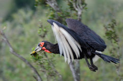 A flying Southern Ground Hornbill. With a caught Chameleon. Probably flying back to feed its chicks Stock Photo