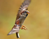 Flying Sparrow Stock Image