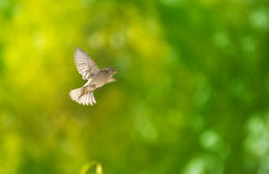 Flying sparrow Royalty Free Stock Photos