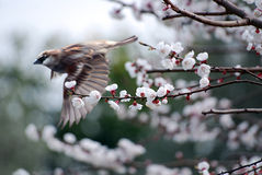 Flying sparrow. Sparrow flying through flowers of a cherry tree Royalty Free Stock Photo