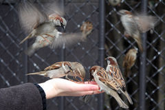 Flying sparrows. Sparrows eating out of hand Royalty Free Stock Photo
