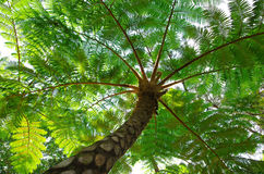 Flying spider monkey tree fern. In Okinawa, Japan Stock Images