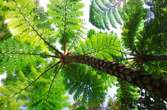 Flying spider monkey tree fern Royalty Free Stock Photography