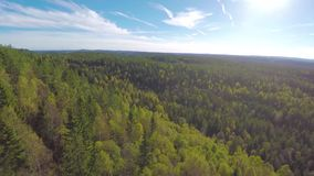 Flying between spruce trees and above large forest. Camera flying between spruce trees and over a large forest in the autumn. Stabilized video footage stock video footage