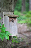 Flying Squirrel. Southern Flying Squirrel Glaucomys volans peeking out of a birdhouse in North Carolina Stock Images